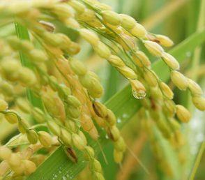 お米農家「やまざき」さんの日本の色